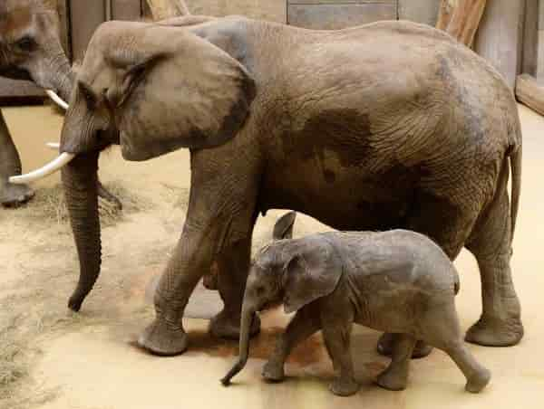 Elephant Mother and Child Prepare to Listen to